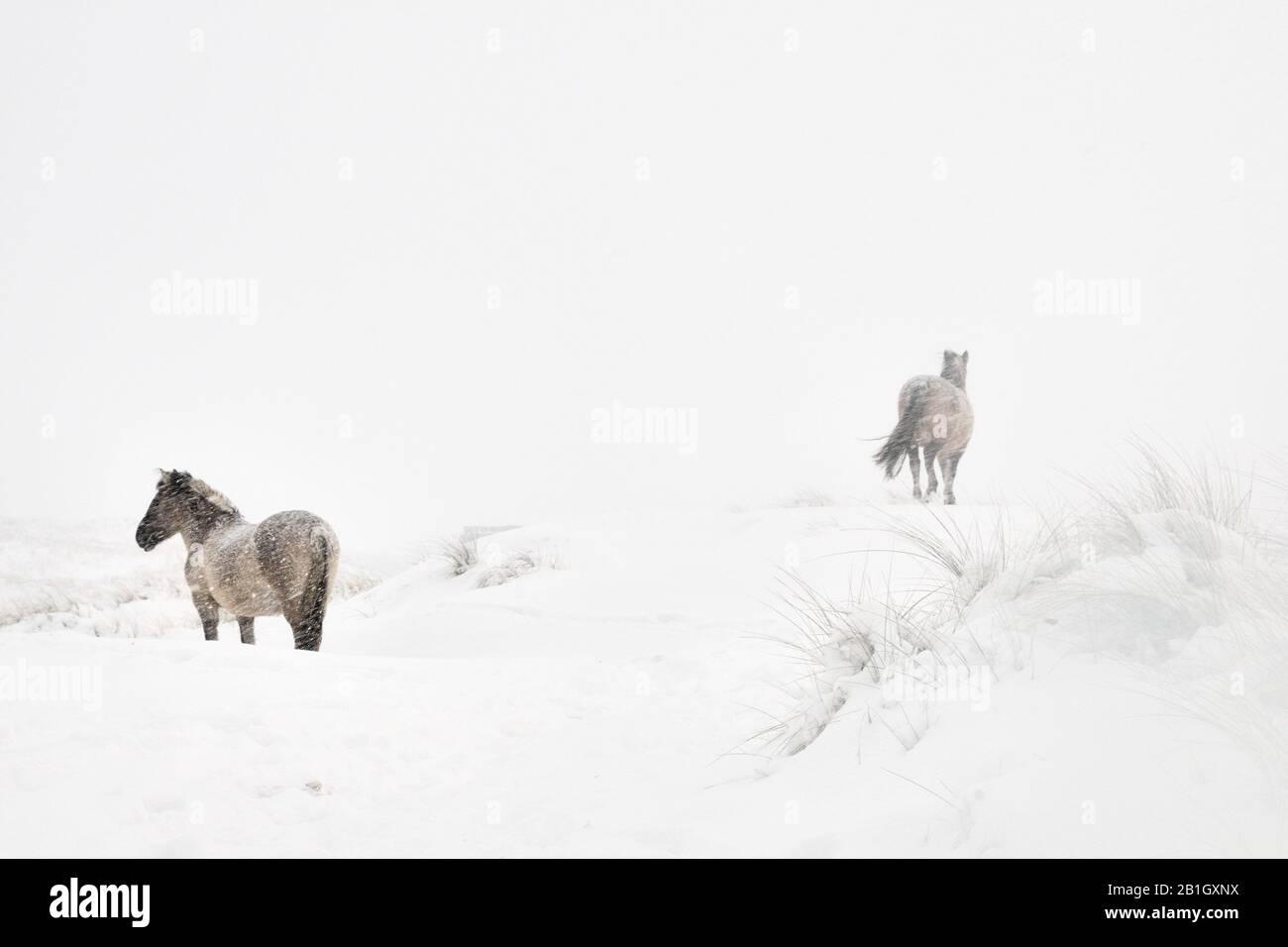 Konik horse (Equus przewalskii f. caballus), two horses in snow, Netherlands, Grafelijkheidsduinen Stock Photo