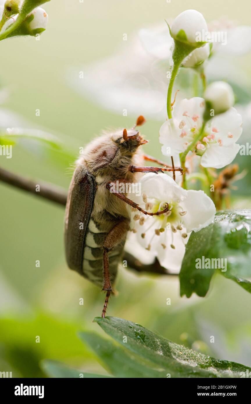 Common cockchafer, Maybug, Maybeetle (Melolontha melolontha), on a flower, Netherlands, Northern Netherlands Stock Photo