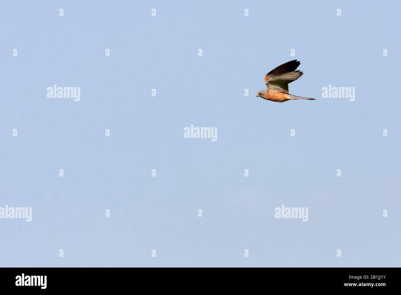 lesser kestrel (Falco naumanni), adult male, Turkey Stock Photo