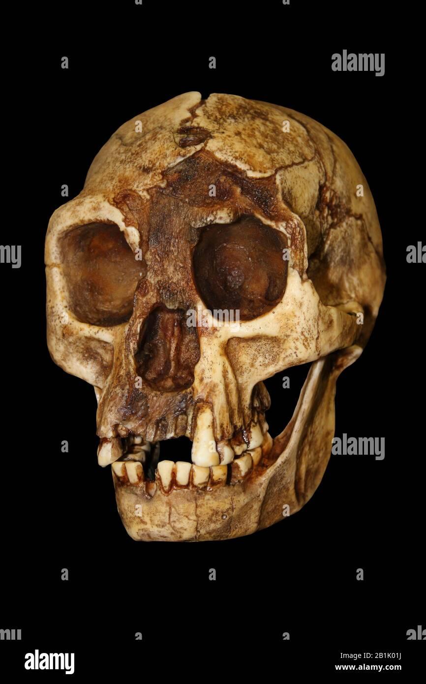 "Homo floresiensis (""Flores Man""; nicknamed ""hobbit"" Stock Photo"