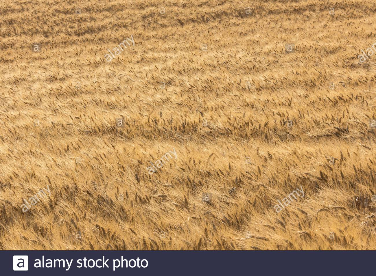 Durum wheat -Triticum turgidum var. durum -  used to manufacture  pasta, is grown in the Mediterranean basin and France is considered one of the best. Stock Photo