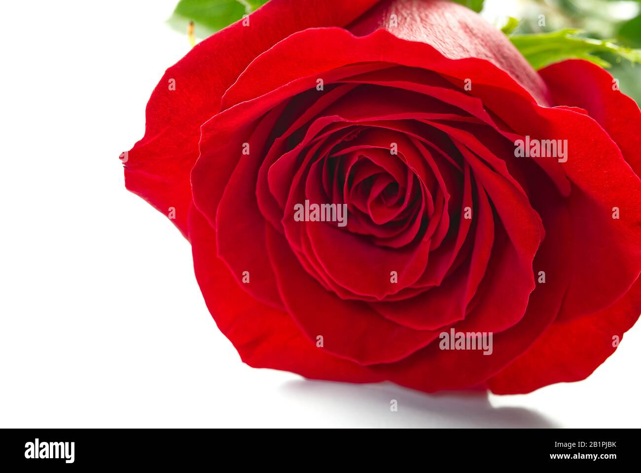 The red rose flower close up shoot. Can be used for background, poster or postcard. Rose flower isolated on white. Stock Photo