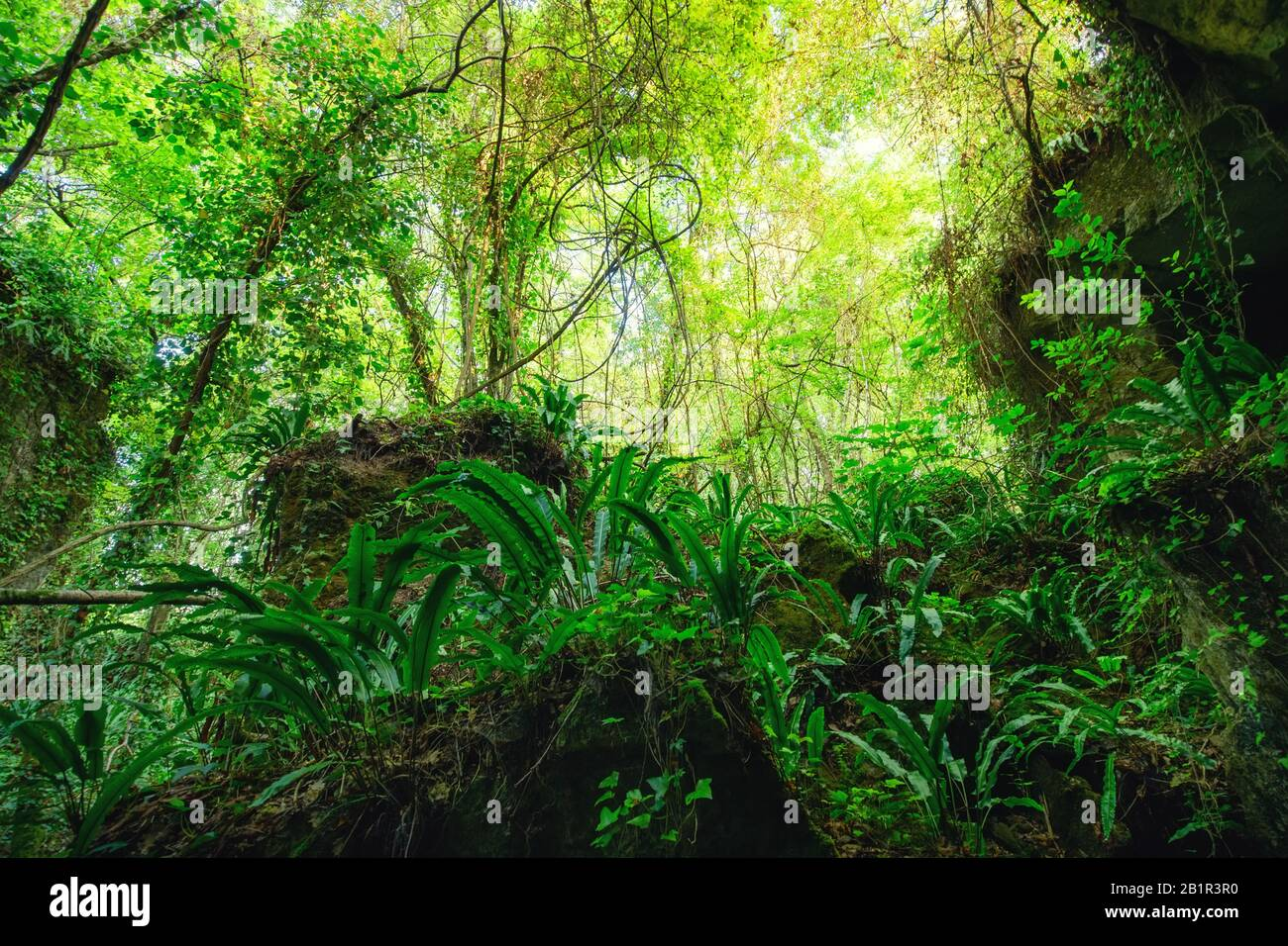 Wild lush forest with hart's tongue ferns growing on rocks in the Gironde department in France, near Bordeaux. Stock Photo
