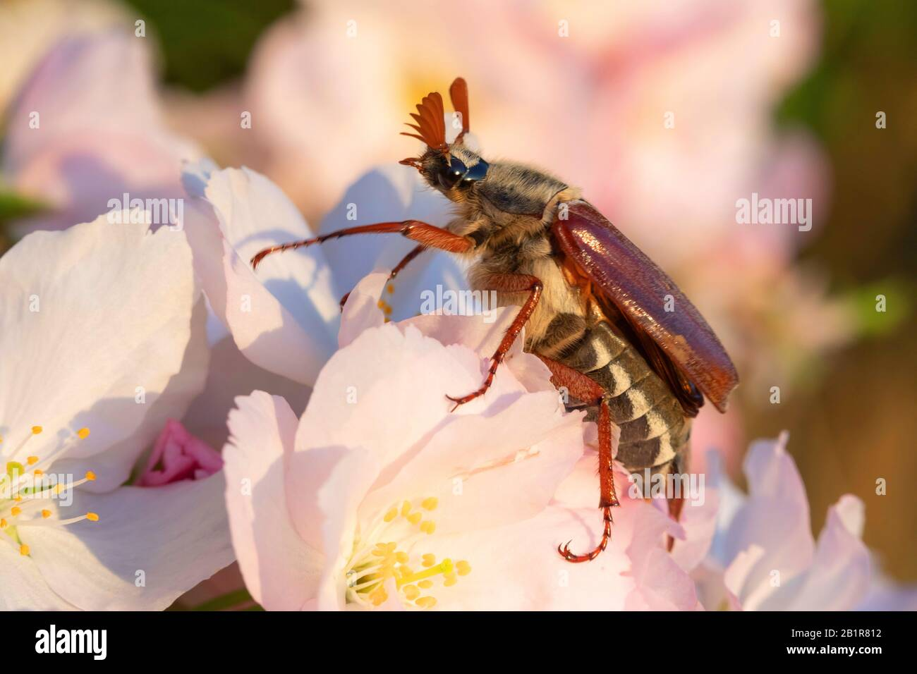 Common cockchafer, Maybug, Maybeetle (Melolontha melolontha), male sitting on a blossom, side view, Germany Stock Photo