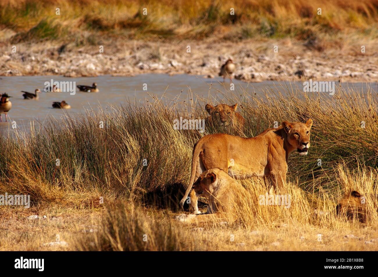 Lions at Salvadora waterhole, Etosha National Park, Namibia Stock Photo