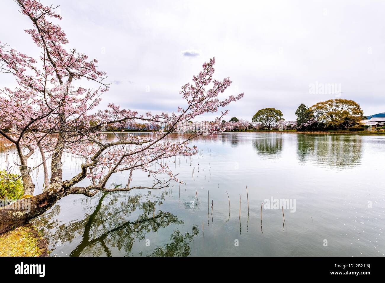 Kyoto, Japan cherry blossom tree by Osawa-no-Ike pond lake in spring in Arashiyama area by Daikakuji Temple with red traditional tour boat Stock Photo
