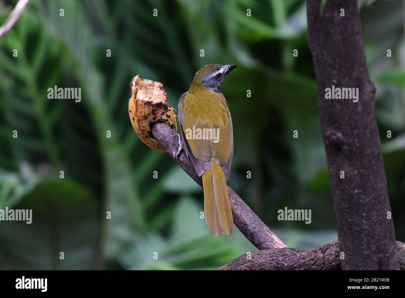 Black-headed Saltator perched on a branch Stock Photo