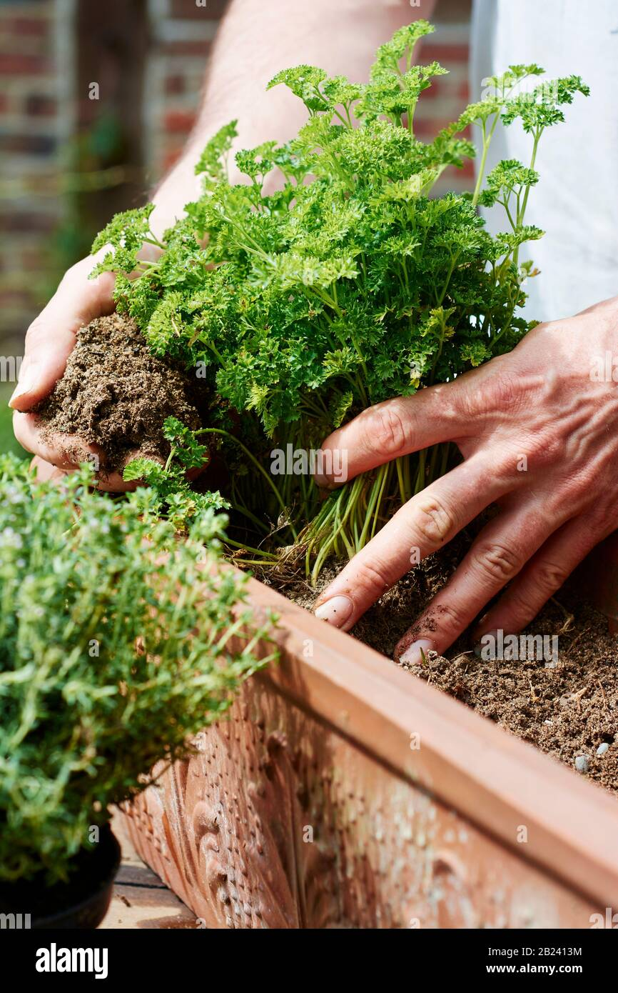 Gardner planting parsley in a terracotta container. Stock Photo