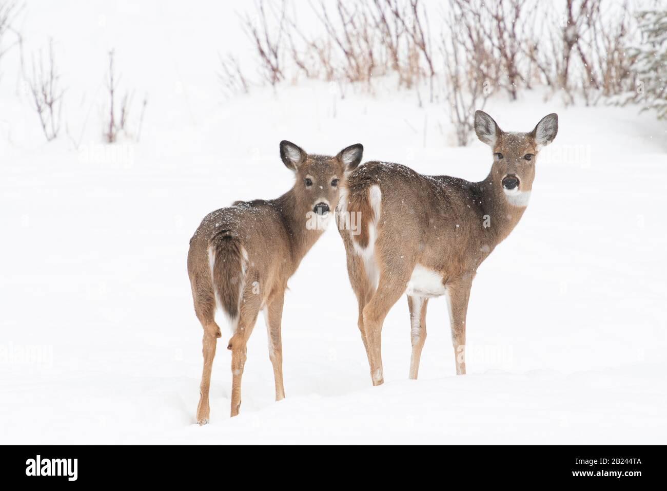 White-taile deer (Odocoileus virginianus), Winter, Eastern North America, by Dominique Braud/Dembinsky Photo Assoc Stock Photo