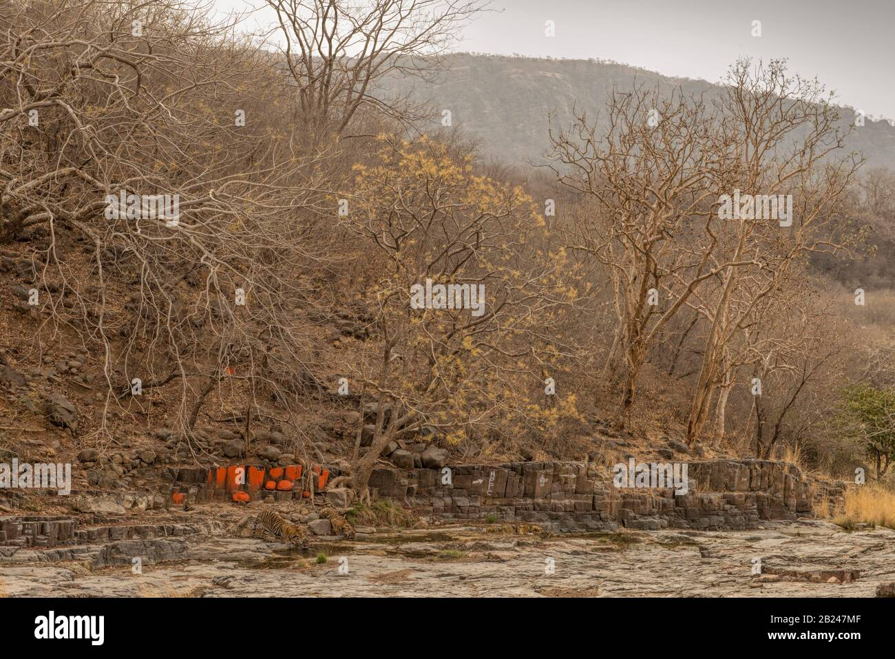 Wide angled shot of two wild tigers (Panthera tigris tigris) drinking water from a rocky puddle near a Hindu temple in the dry decidous forests Stock Photo