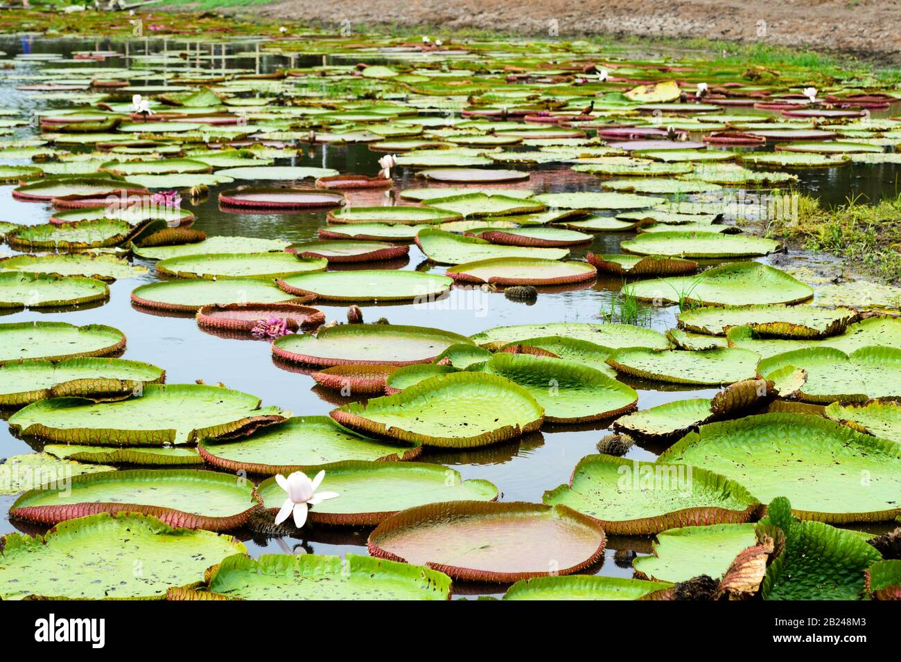 Many water lily plants, scientific name Victoria, with some ...