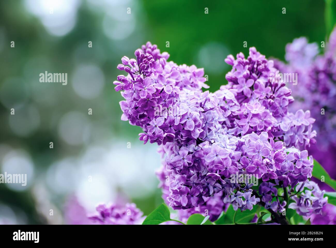 Branch Of Lilac Flowers With Green Leaves Floral Natural Seasonal