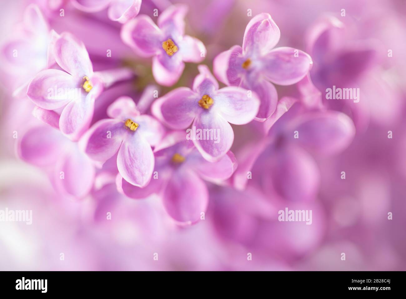 Macro Image Of Lilac Flowers Abstract Floral Background Gentle Light Purple Flower Background Very Shallow Depth Of Field Selective Focus Stock Photo Alamy