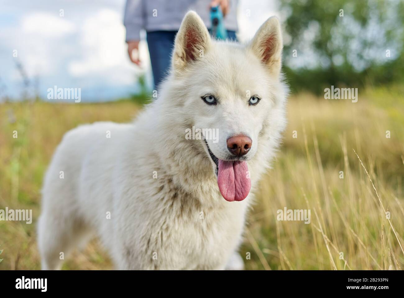 Closeup Young White Female Husky Dog With Tongue Blue Eyes On Walk Stock Photo Alamy