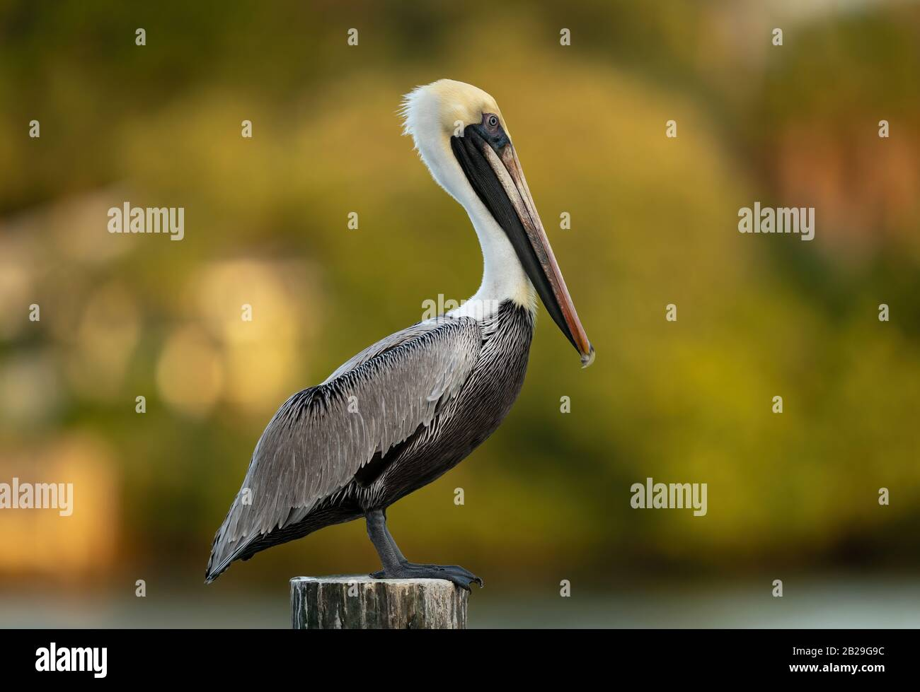 Grey Pelican in Florida Stock Photo