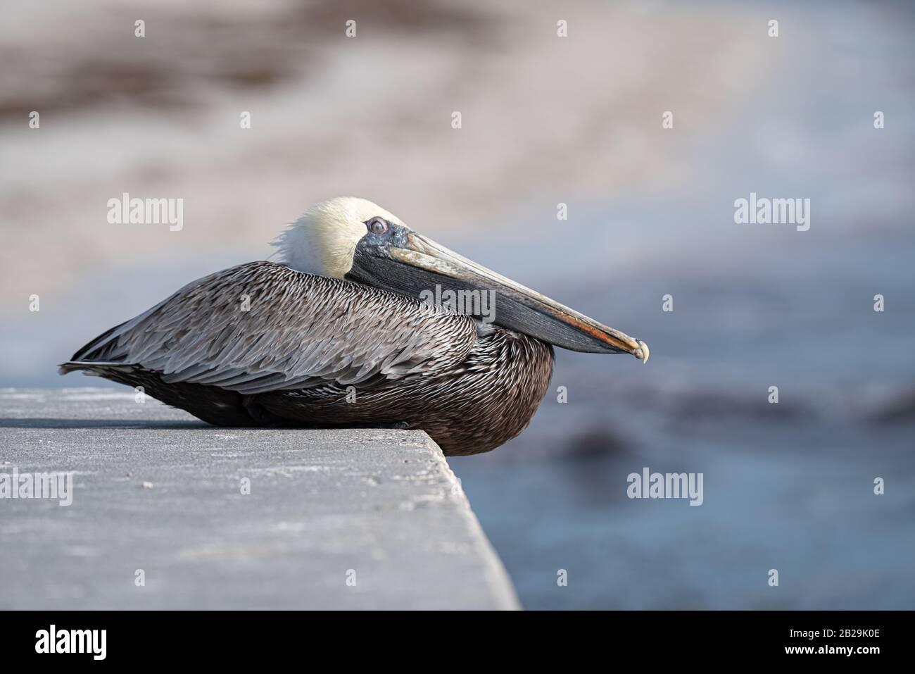 Sleepy Grey Pelican Stock Photo
