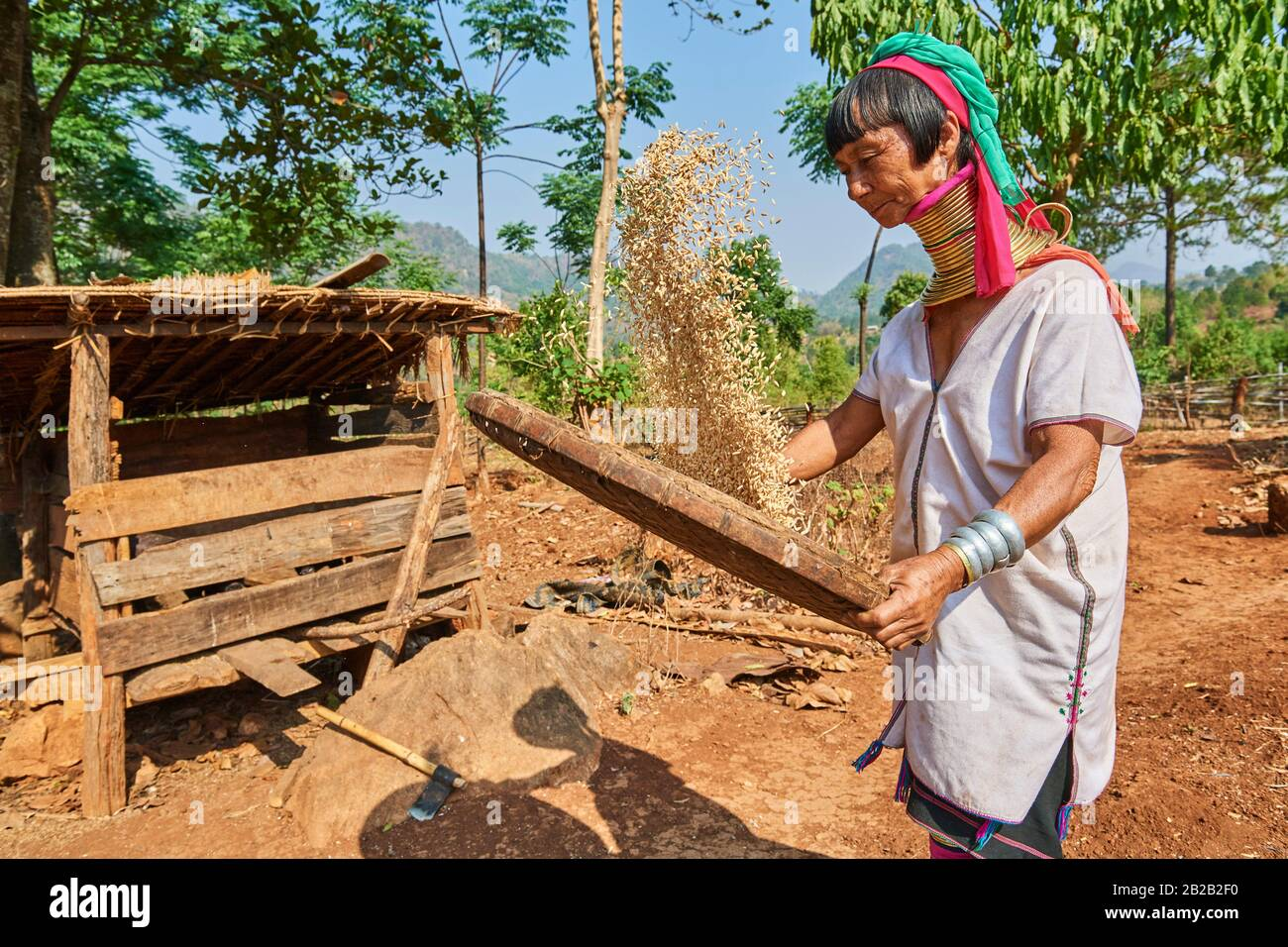 Kayan Lahwi woman with brass neck coils and traditional clothing sifting rice to get rid of the loose husks in a flat basket. The Long Neck Kayan Stock Photo