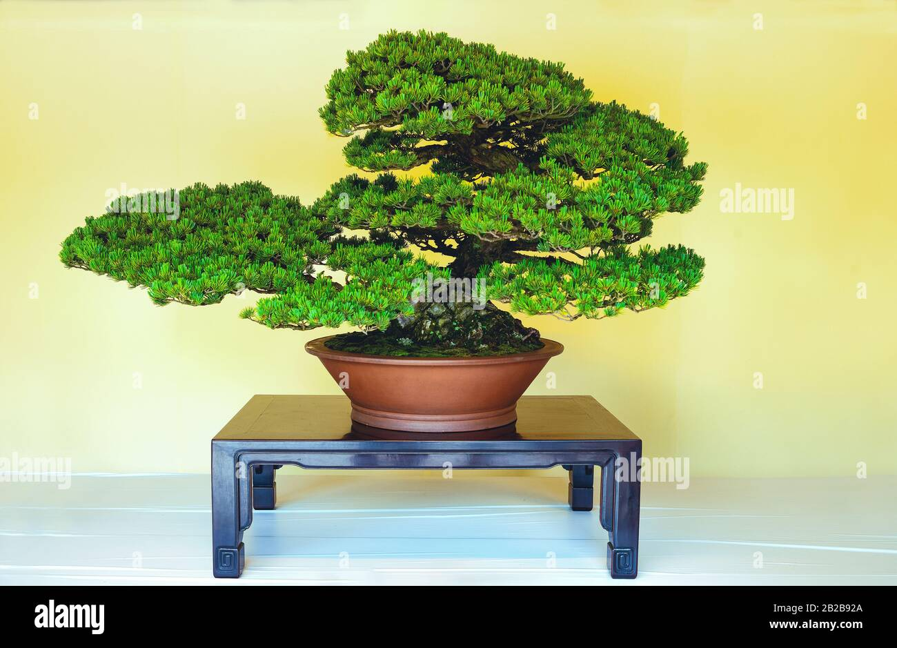 Tokyo Japan Exhibition Of Traditional Bonsai Small Trees In The Meiji Sanctuary Courtyard Stock Photo Alamy