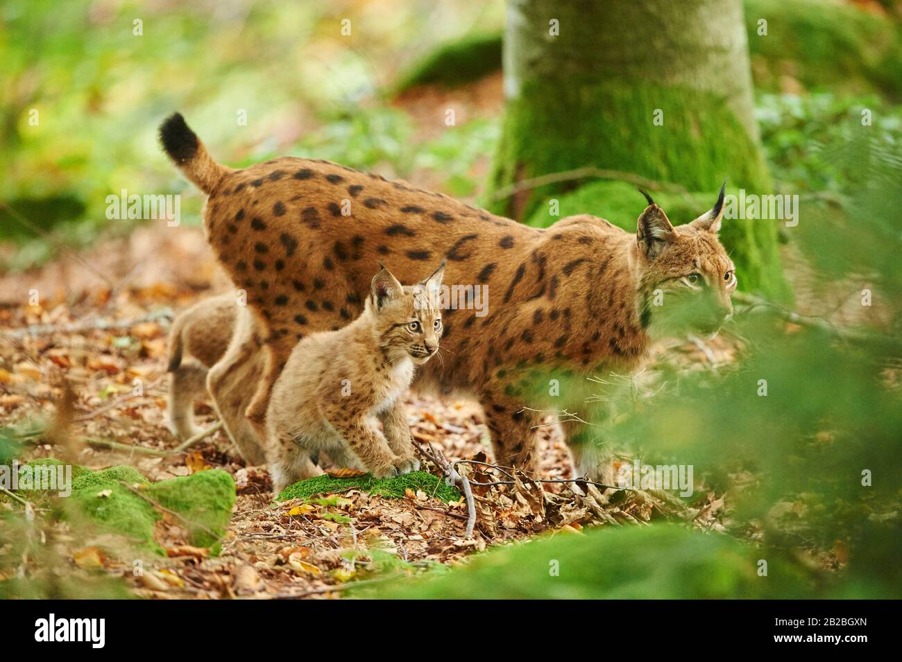 Eurasian lynx (Lynx lynx) mother animal with her youngster in a forest, captive, Bavarian Forest Nationalpark, Bavaria, Germany, Europe. Stock Photo