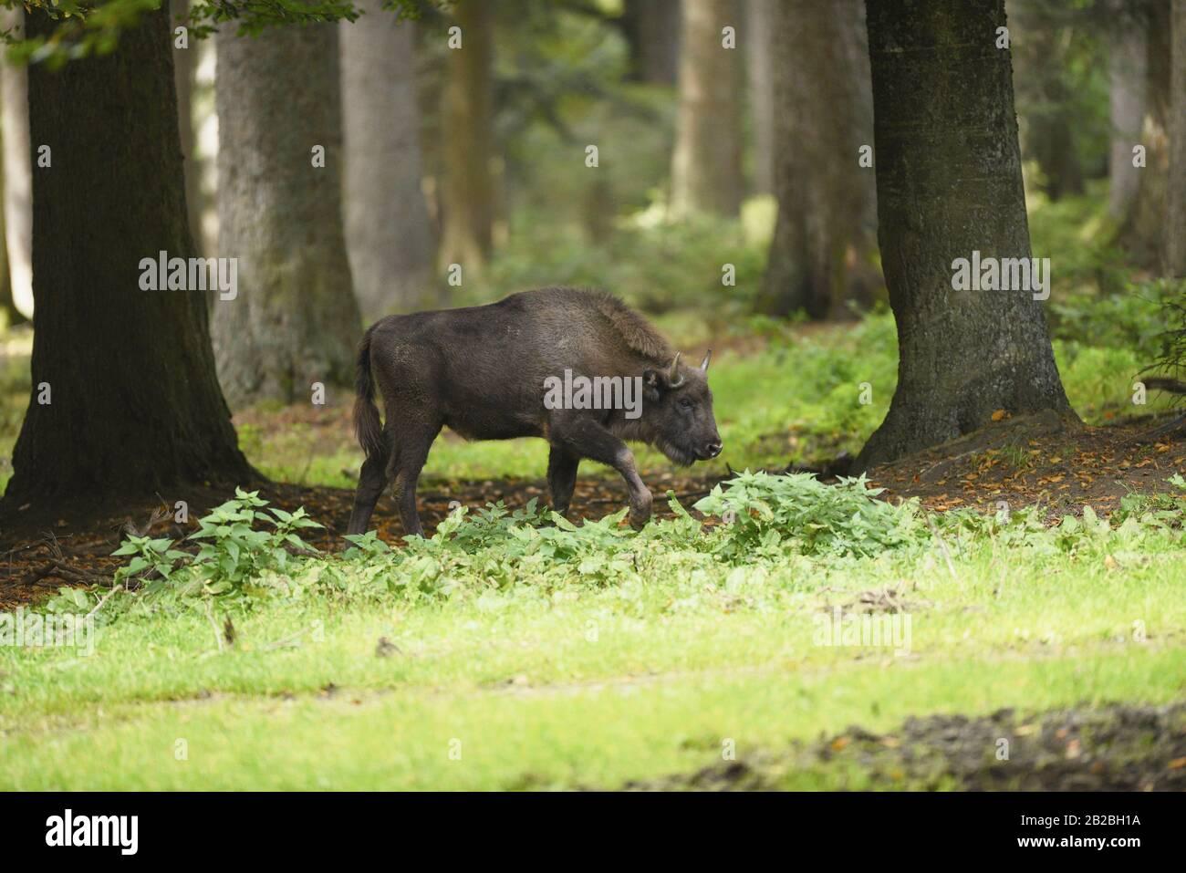 European bison (Bison bonasus) in Bavarian Forest National Park, Bavaria, Germany, Europe. Stock Photo
