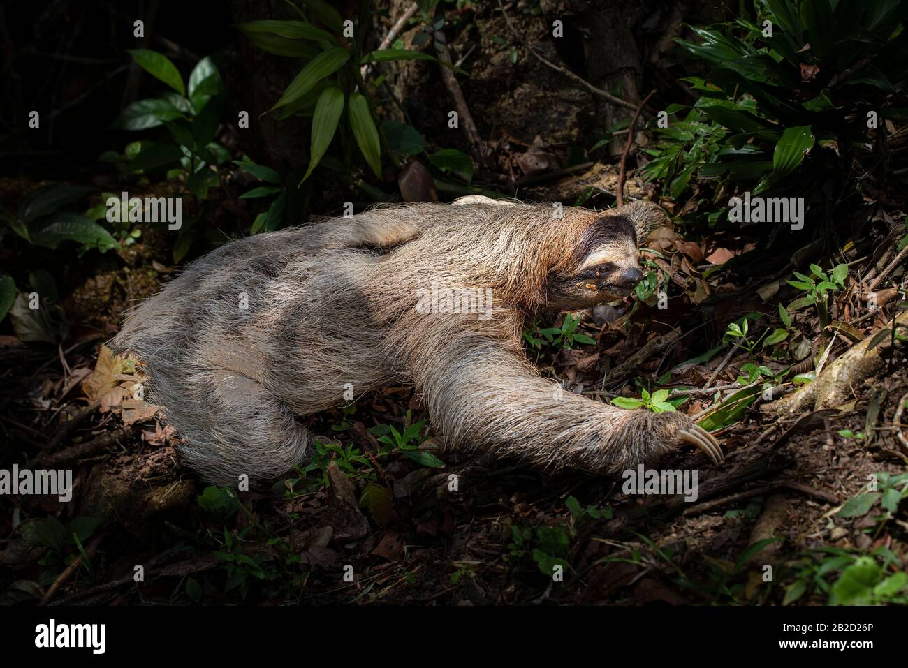 Brown-throated three-toed sloth young one crawling on the forest floor Stock Photo