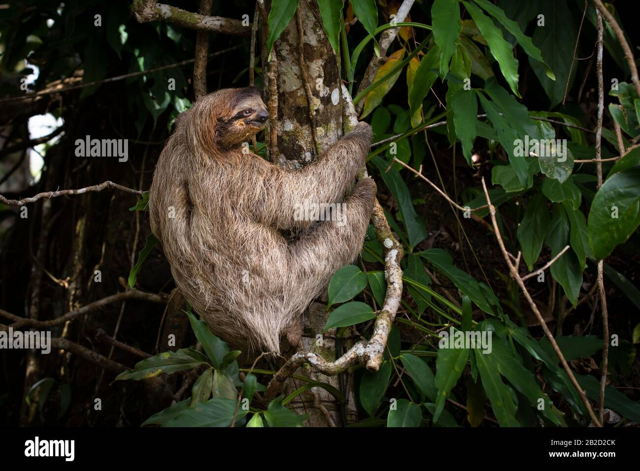 Brown-throated three-toed sloth young one climbing a tree Stock Photo