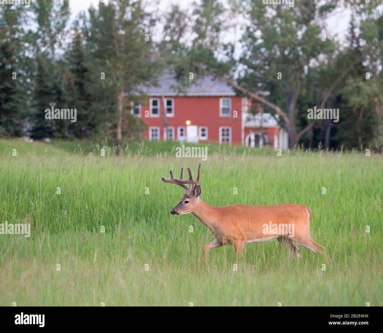 White-tailed deer buck (Odocoileus virginianus) with velvet antlers walking through meadow with house in background Stock Photo