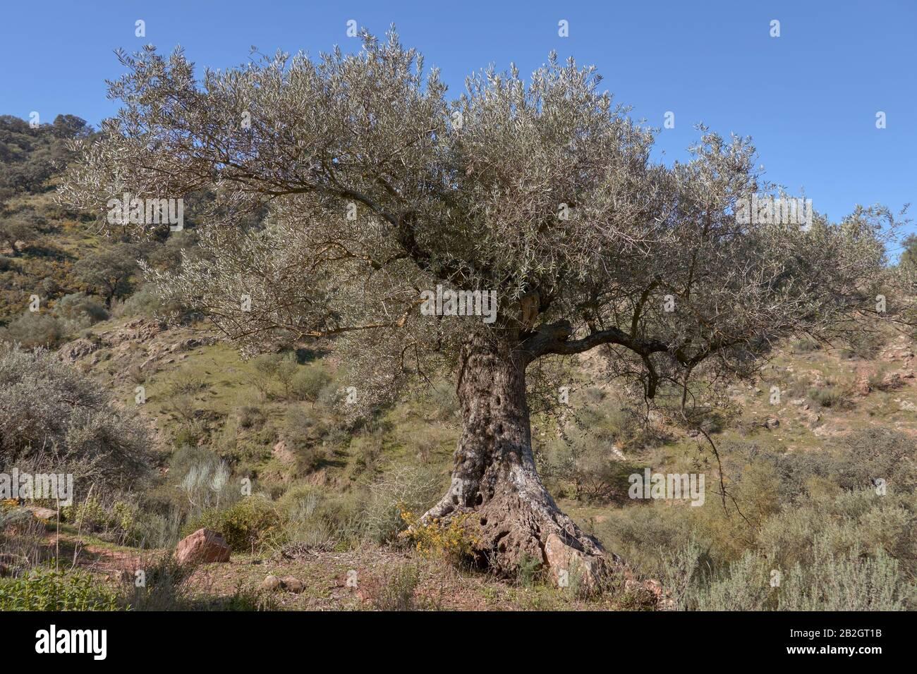 Centennial olive tree in Casabermeja, Malaga. Spain Stock Photo