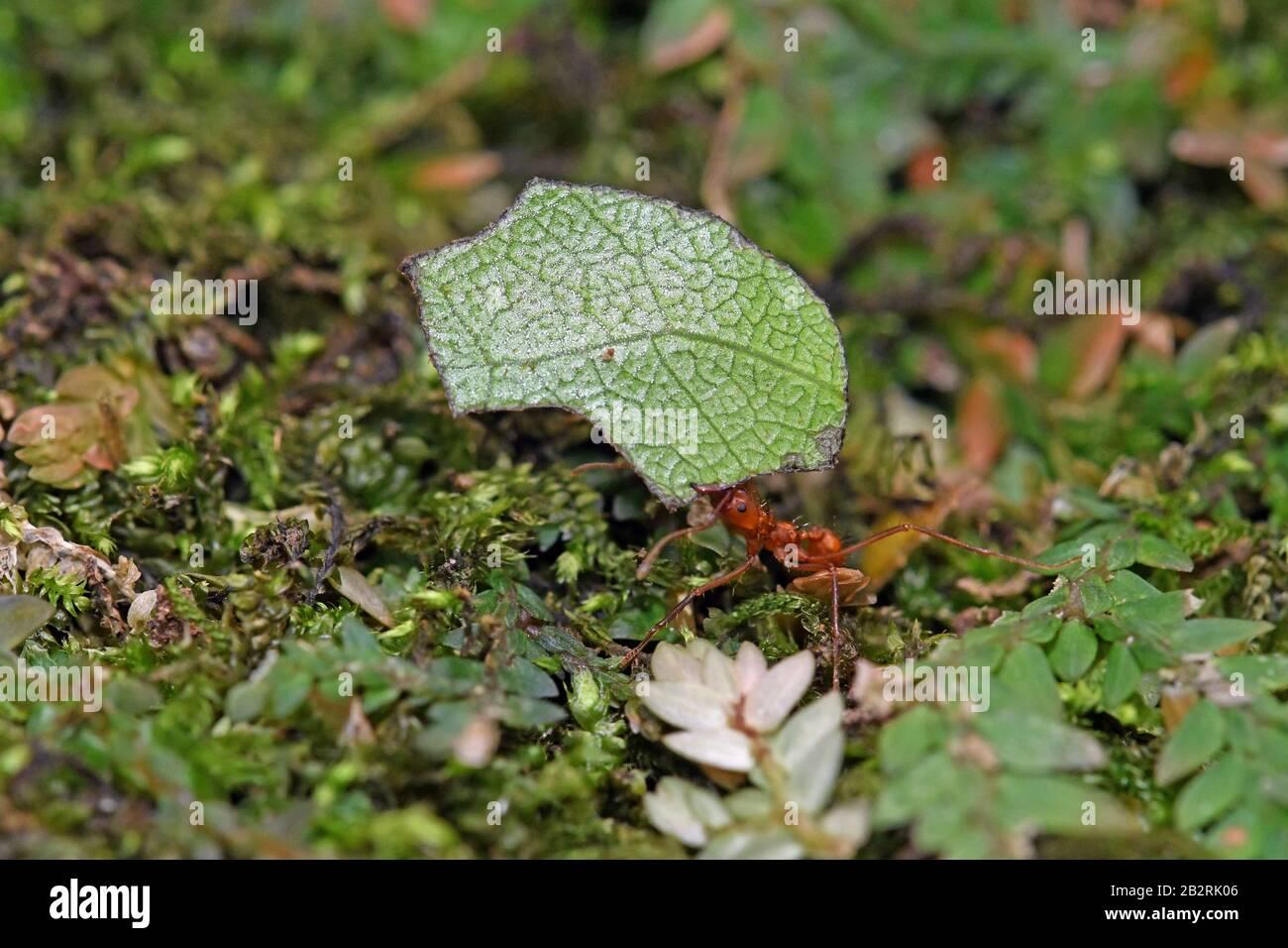 Leaf cutting ant, Costa Rica Stock Photo