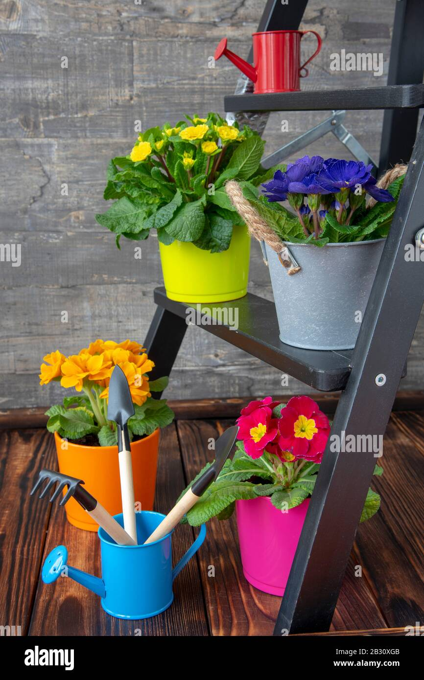 Bright flower pots with primroses and garden tools are placed on a small wooden ladder. Stock Photo
