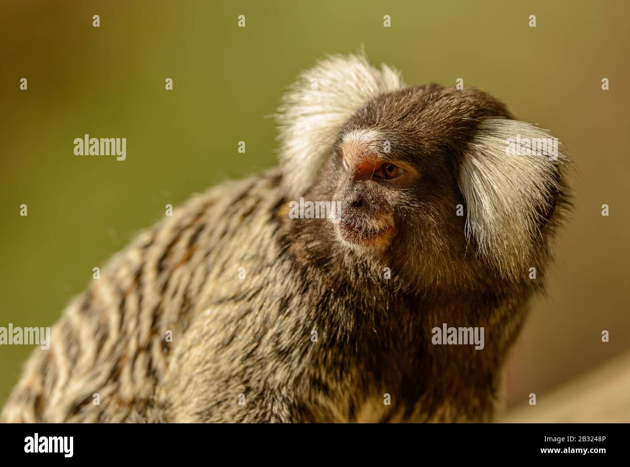 Marmoset Monkey Young High Resolution Stock Photography and Images - Alamy