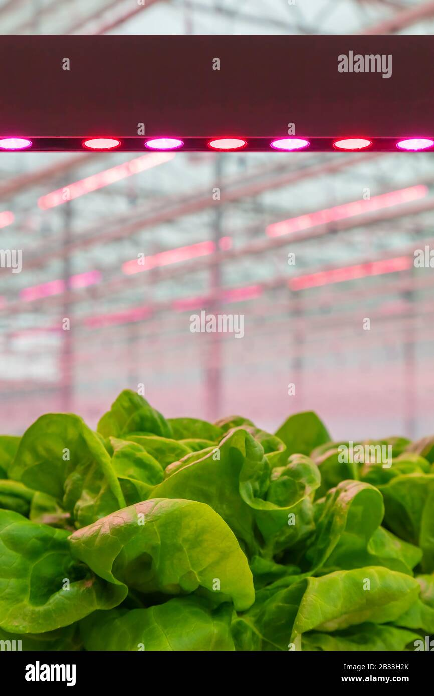 LED lighting used to grow lettuce inside a Dutch greenhouse without the need for sunlight Stock Photo