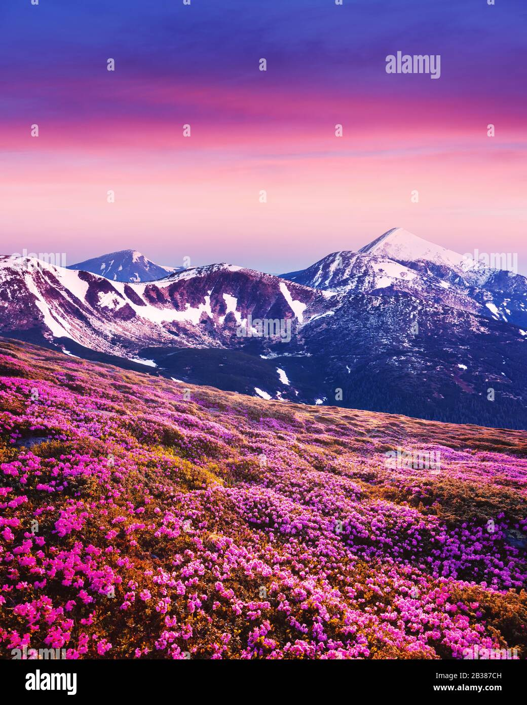 Rhododendron flowers covered mountains meadow in summer time. Purple sunrise light glowing on snowy peaks on background. Landscape photography Stock Photo