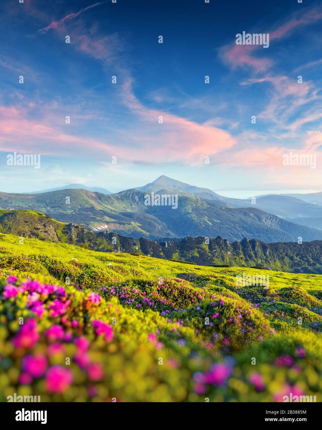 Rhododendron flowers covered mountains meadow in summer time. Purple sunrise light glowing on a foreground. Landscape photography Stock Photo