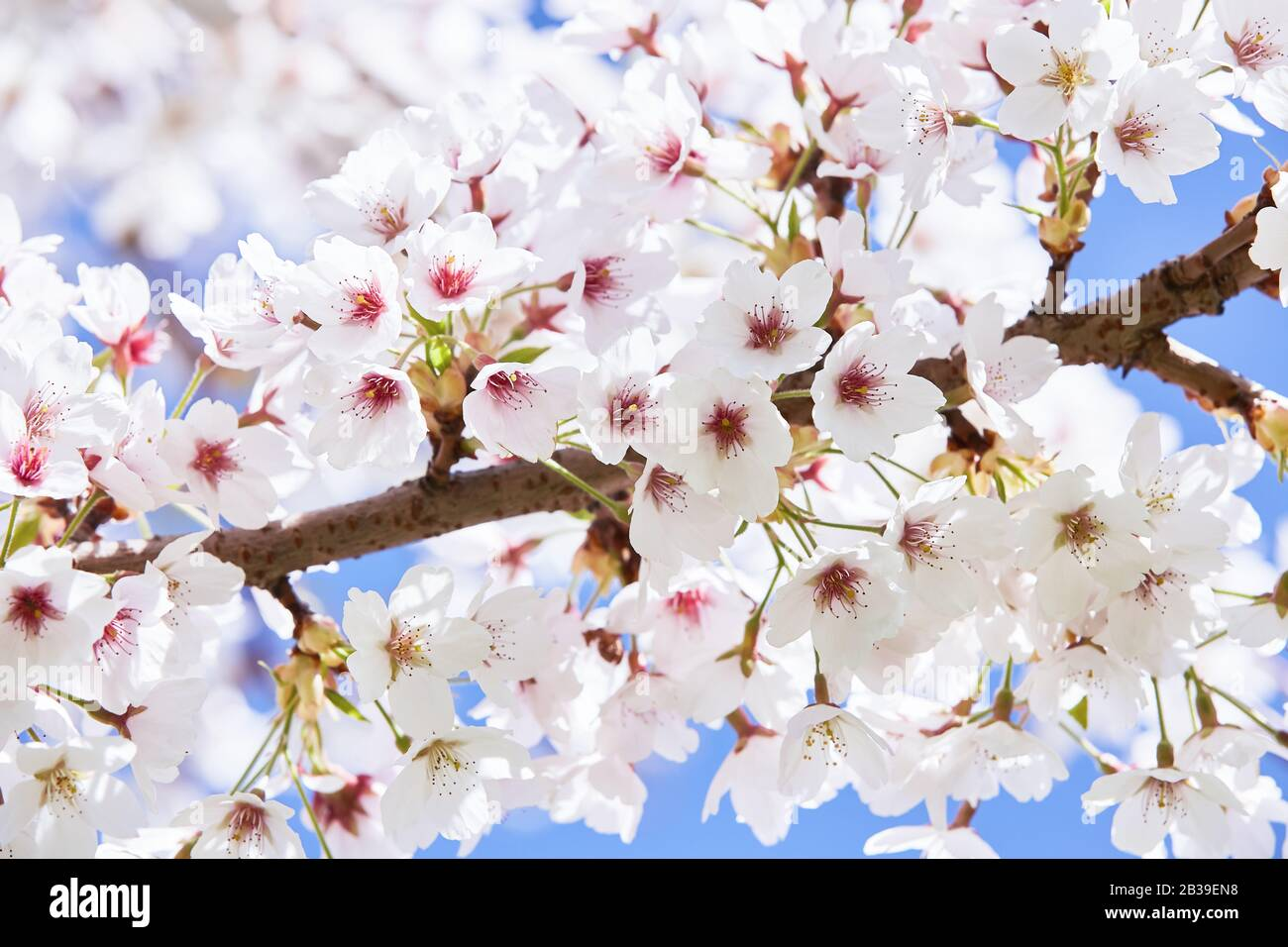 Branches of blossoming cherry against background of blue sky. Spring background. Stock Photo