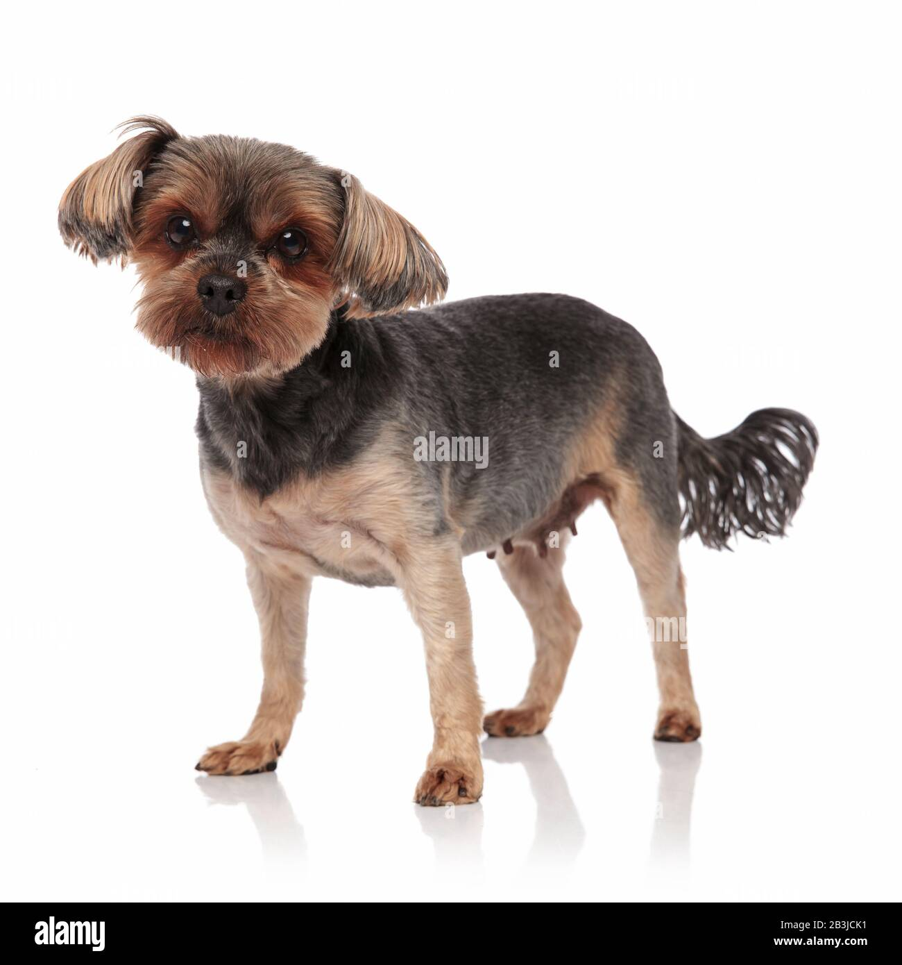 Side View Of Cute Yorkshire Terrier Moving Tail And Standing Isolated On White Background Full Body Stock Photo Alamy