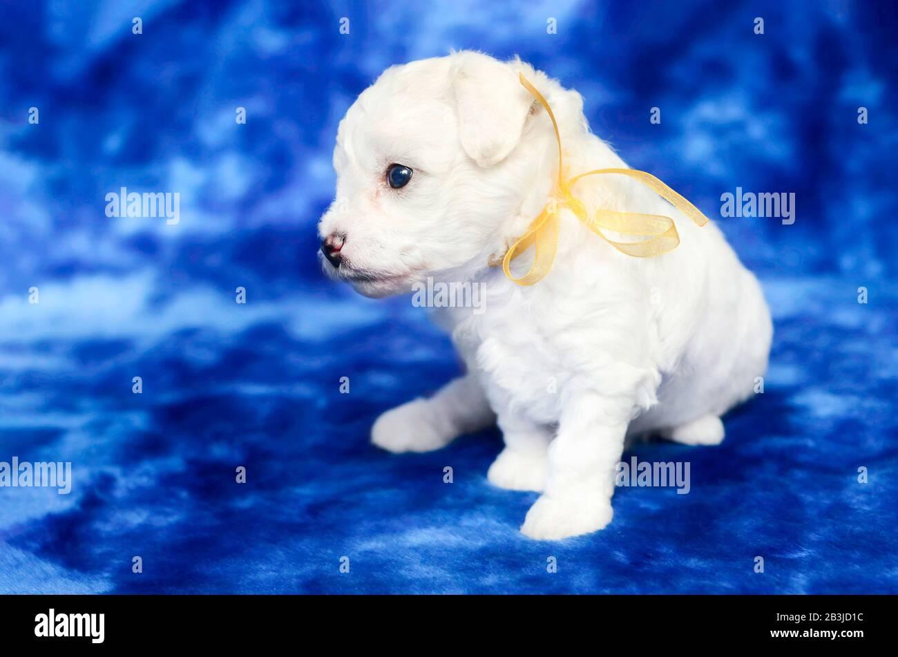 Cute Bichon Frise Puppy On A Blue Backgroud Studio Shot Stock Photo Alamy