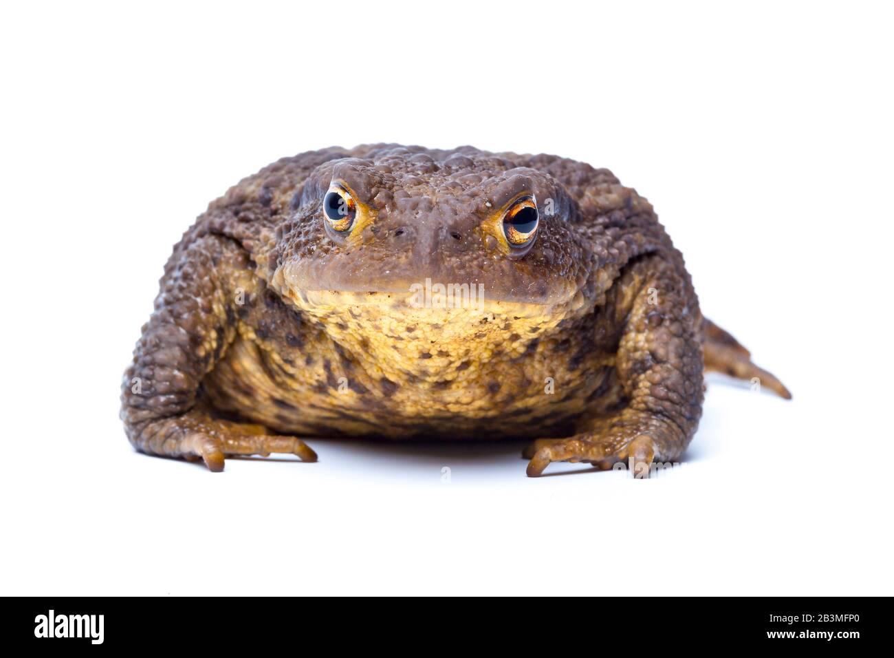 European Common Toad, Bufo bufo Stock Photo