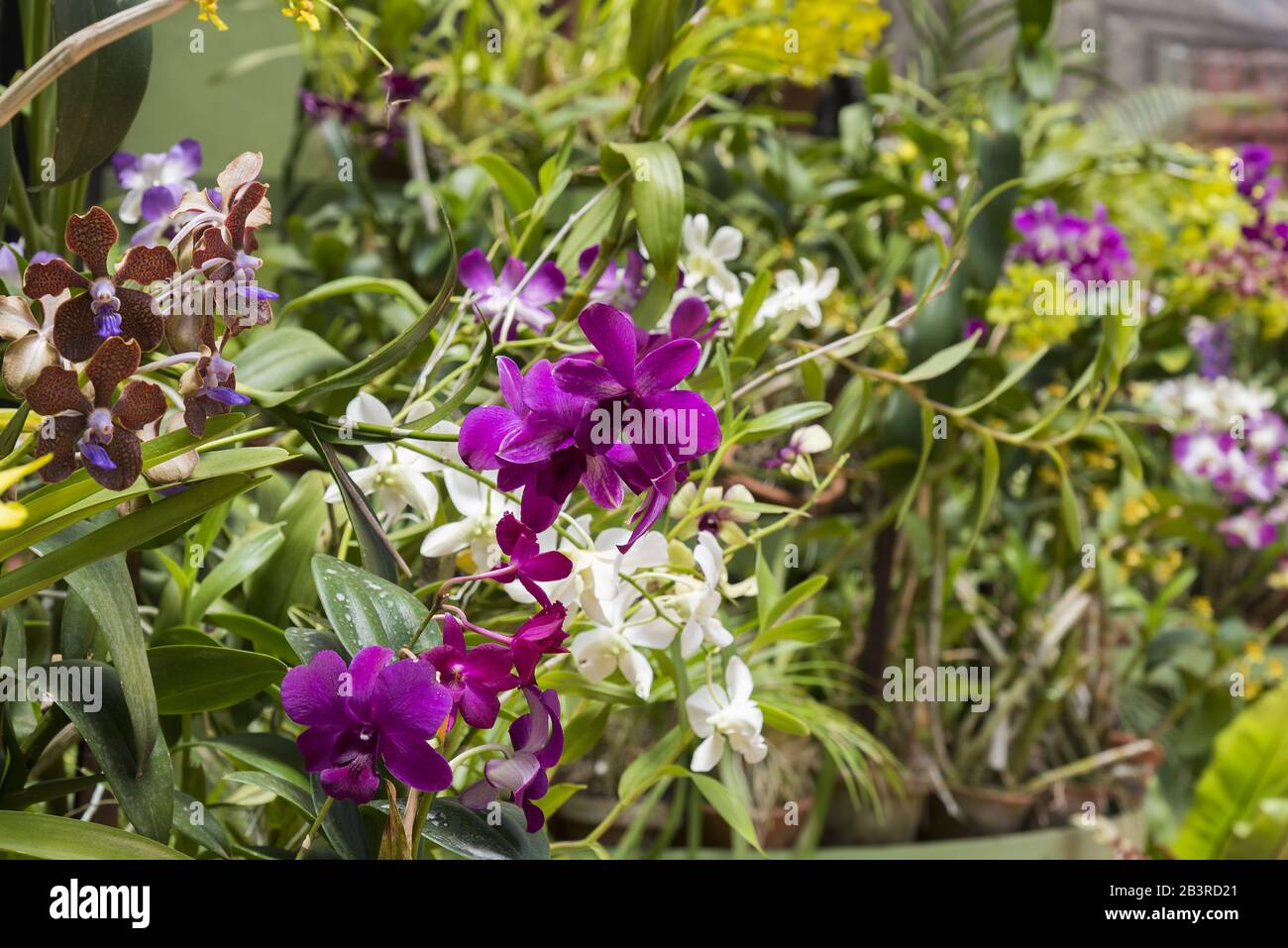 Tropical Flower Sri Lanka High Resolution Stock Photography And Images Alamy