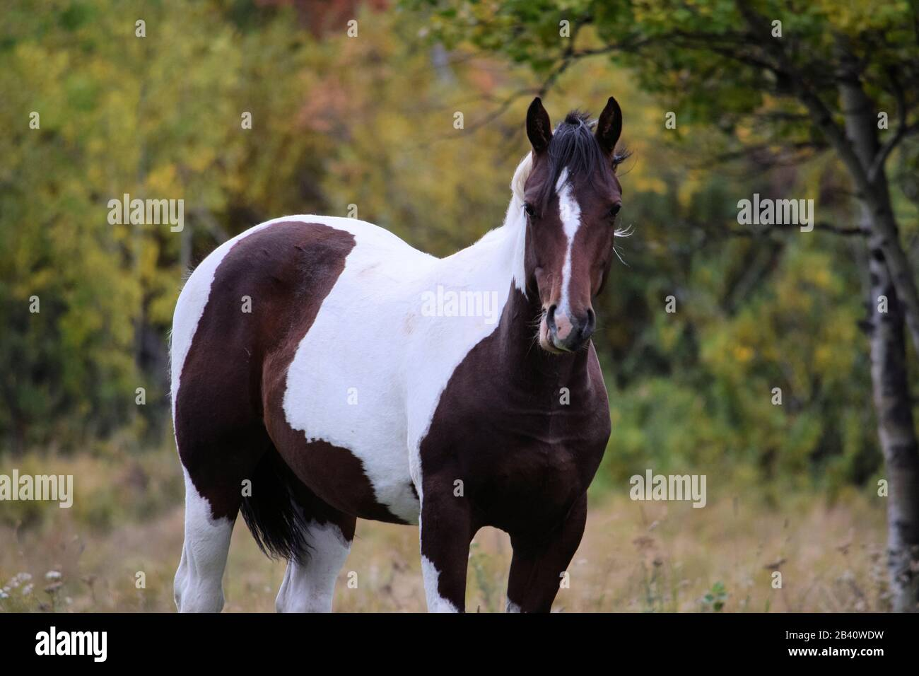 Indian Paint Horse High Resolution Stock Photography And Images Alamy