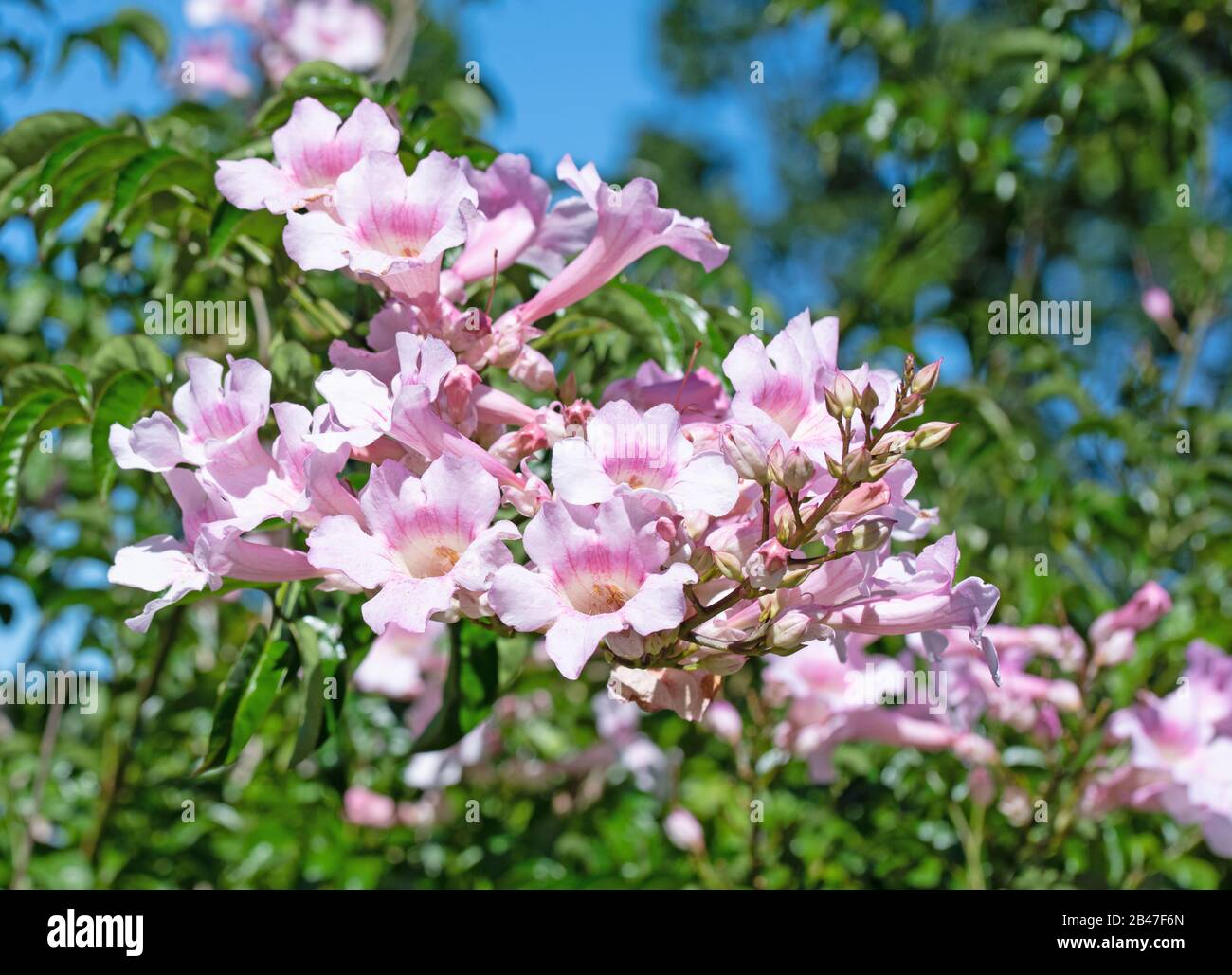 Flowering trumpet wine, Podranea, in summer Stock Photo