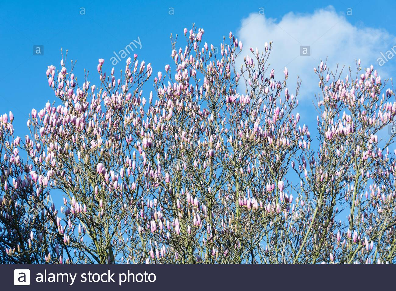 Blossoming spring Magnolias (named after French botanist Pierre Magnol) on a blue sky Stock Photo