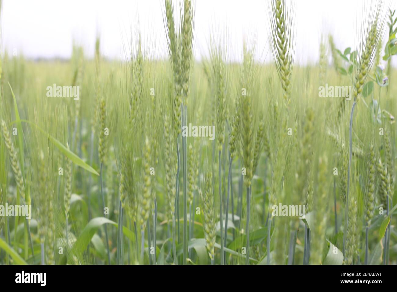 Green Wheat Cereal Crops Growing In Cultivated Field Stock Photo