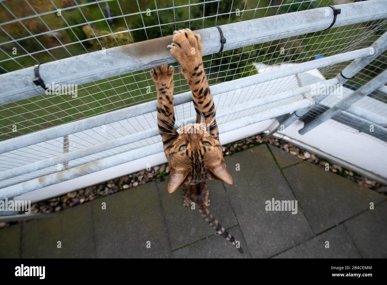 brown spotted tabby bengal cat outdoors on balcony with safety net climbing up railing Stock Photo
