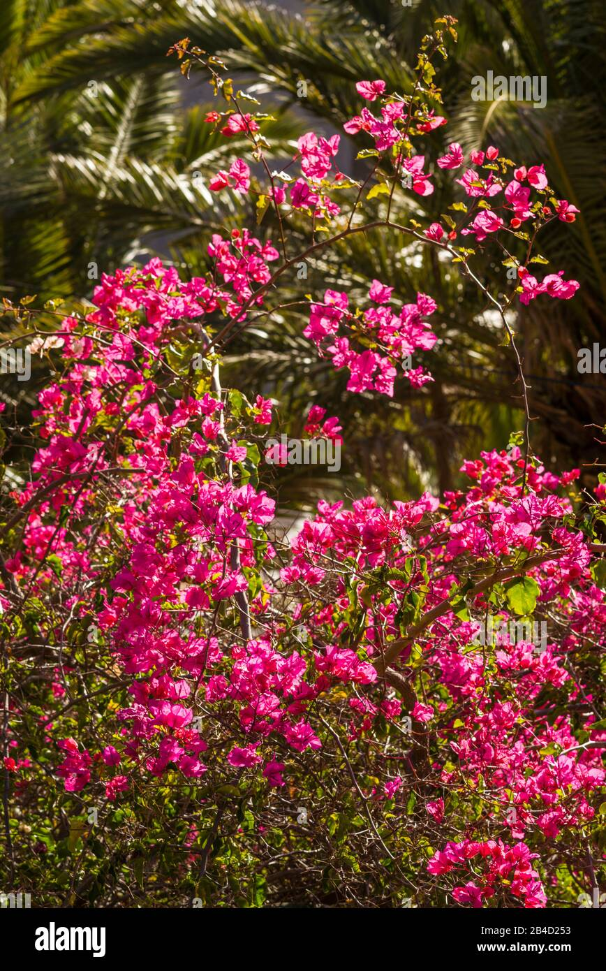 Canary Island Flowers High Resolution Stock Photography And Images Alamy
