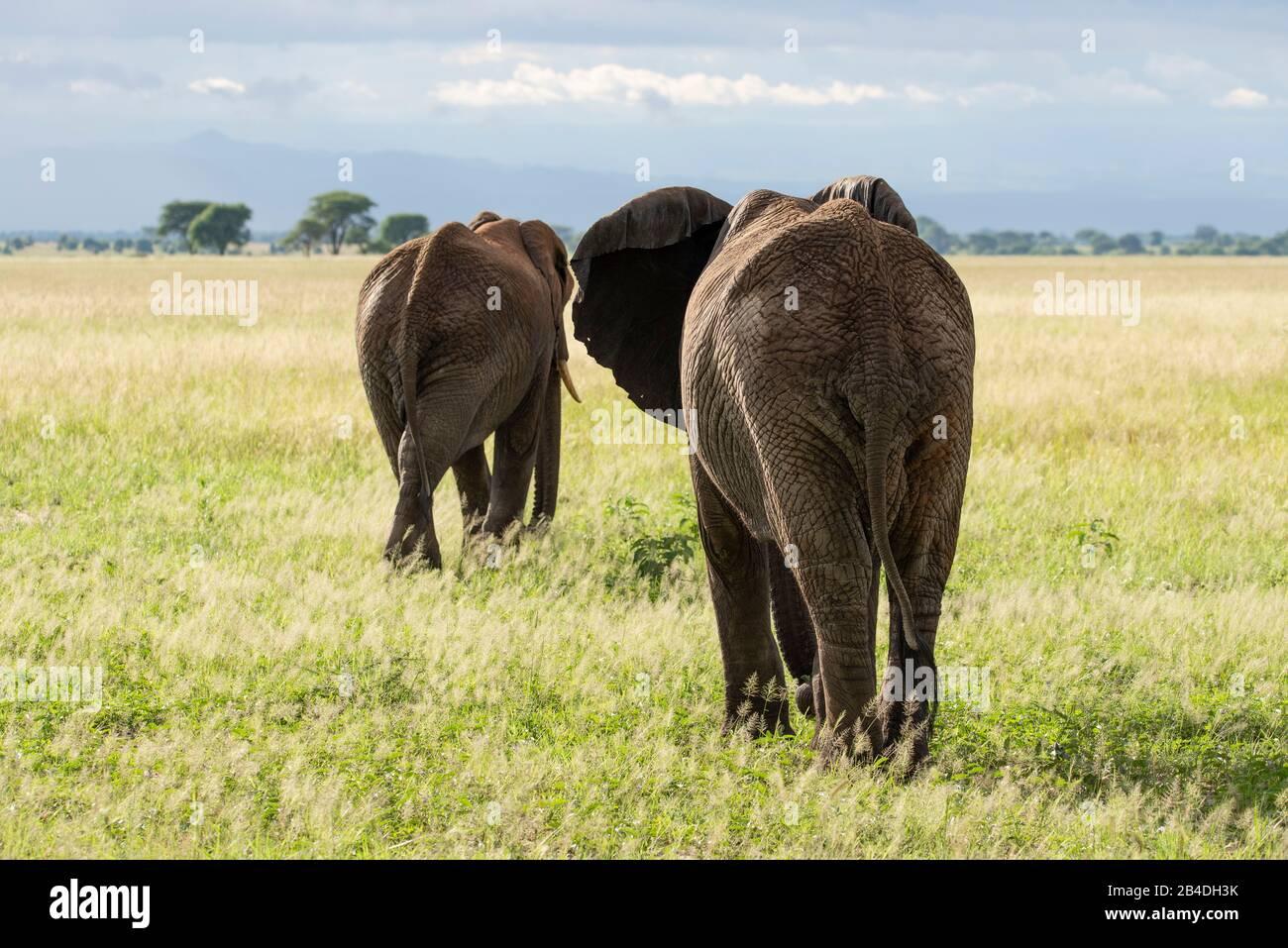 Tanzania, Northern Tanzania, Serengeti National Park, Ngorongoro Crater, Tarangire, Arusha and Lake Manyara, two african elephants in the savanna, loxodonta africana Stock Photo