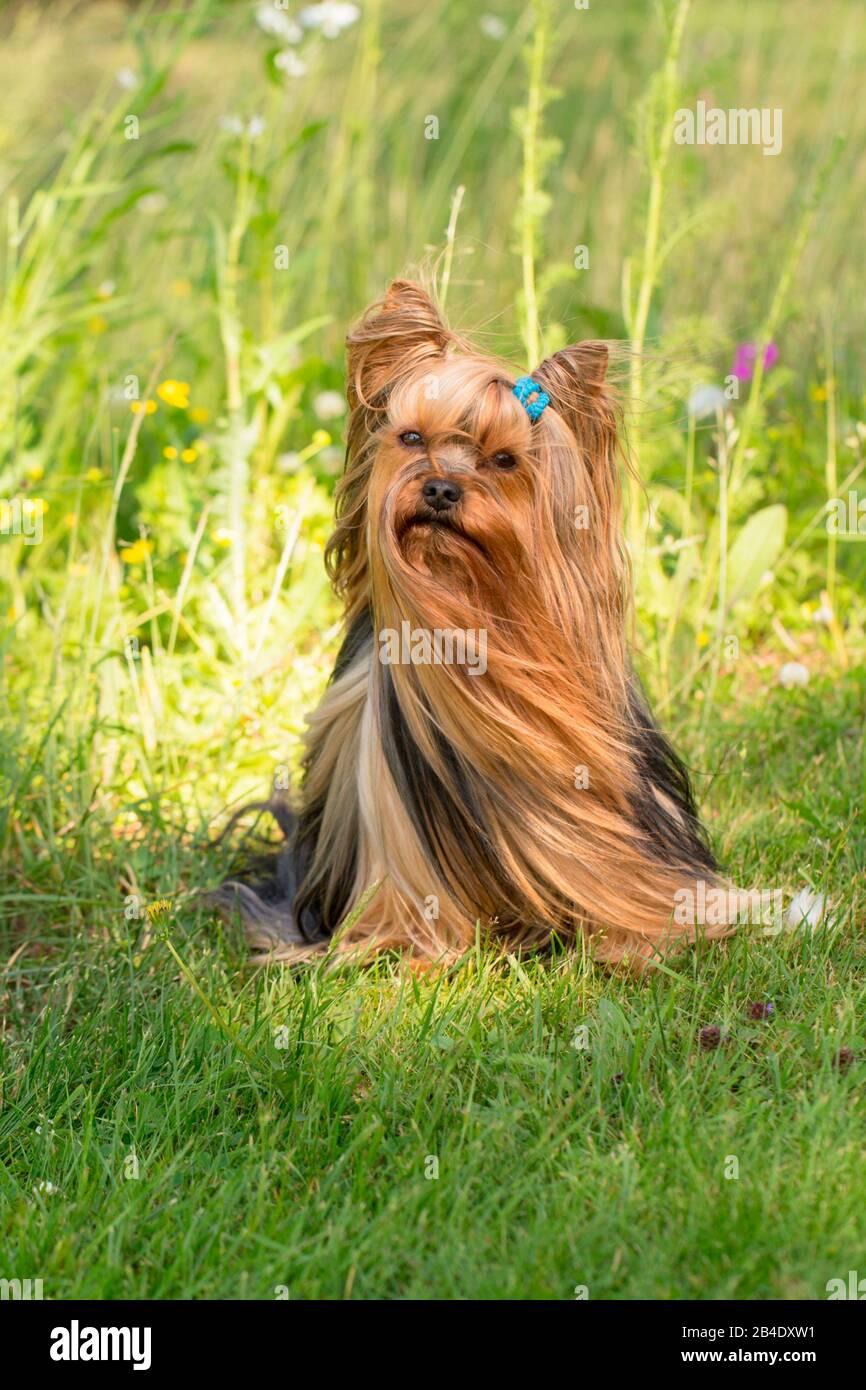 Yorkshire Terrier, Longhaired, Summer scene Stock Photo