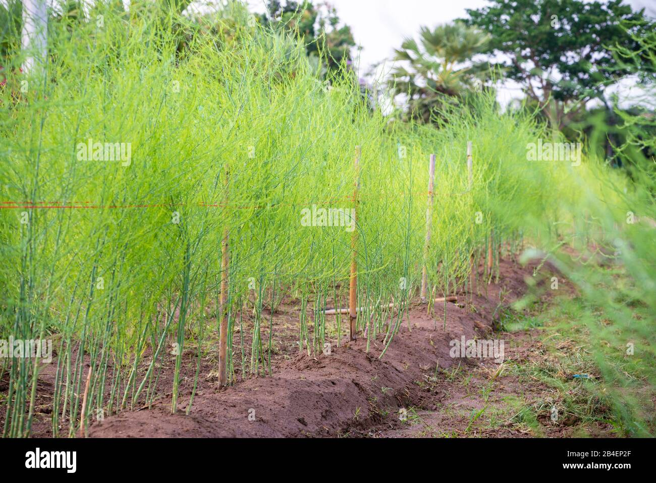 Plant With Small Green Leaves Of Edible Asparagus Garden Asparagus Or Asparagus Officinalis Are Growing In The Field Planting Vegetables And Agricul Stock Photo Alamy