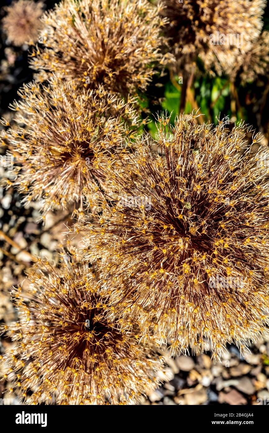 Botany, plant, flowers, dried up, Wolfenbüttel, Lower Saxony, Germany, Europe Stock Photo