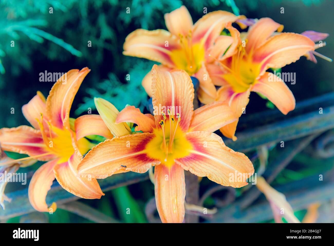 lily, flora, botany, plant, flowers, Wolfenbüttel, Lower Saxony, Germany, Europe Stock Photo